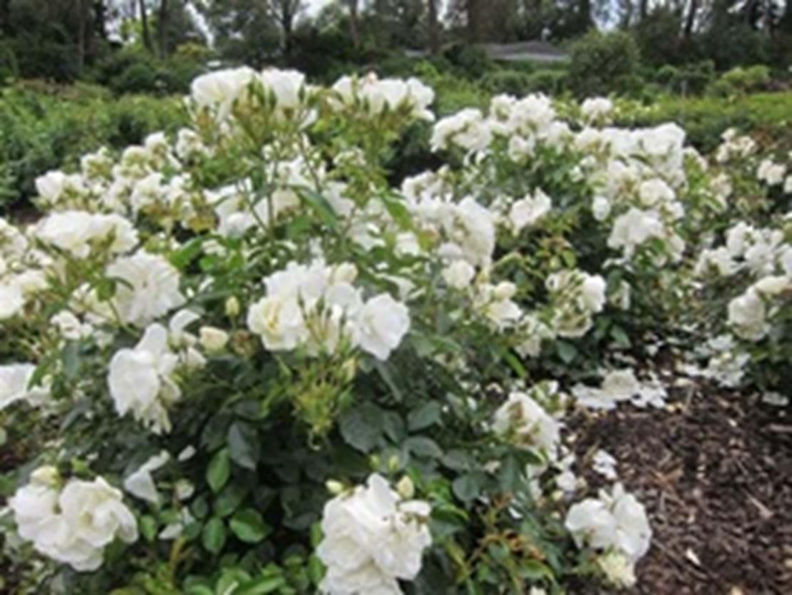 Rosa Flower Carpet White